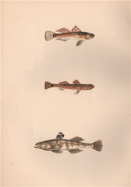 Associate Product SLEEPY, TAIL-SPOTTED & SANDY GOBY. Pomatoschistus minutus. COUCH. Fish 1862