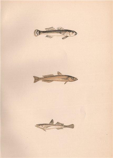 Associate Product SPECKLED TRANSPARENT/SLENDER GOBY Gobius rhodopterus/pellucidus COUCH Fish 1862