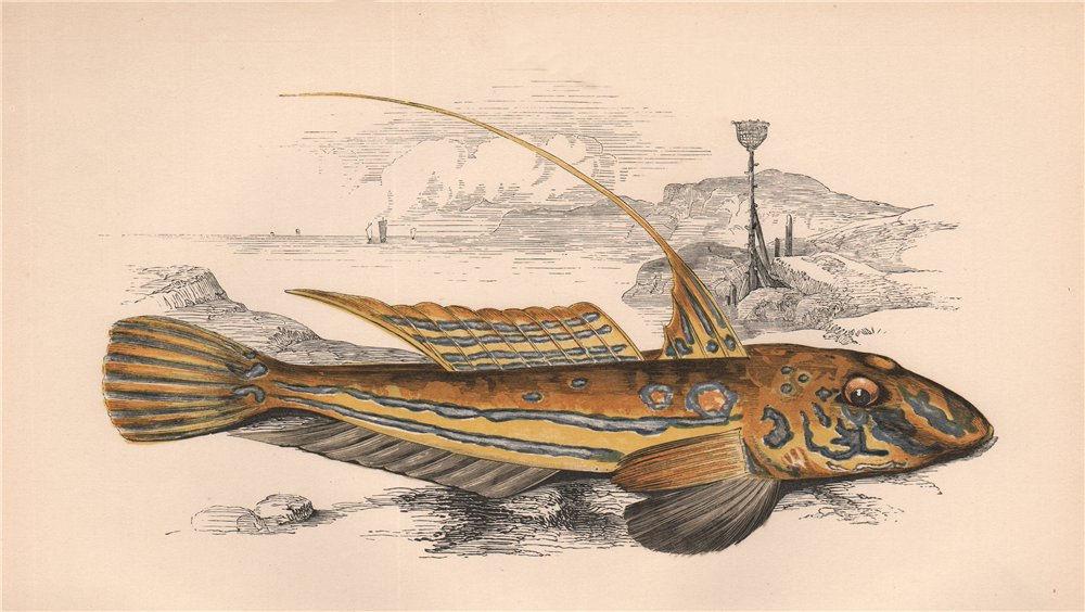 COMMON DRAGONET. Callionymus lyra, Yellow/Golden Skulpin. COUCH. Fish 1862