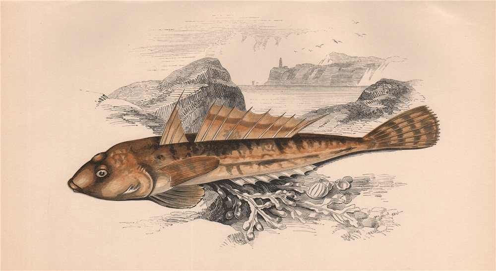 Associate Product DUSKY SCULPIN. Sordid Dragonet, Icelinus burchami. COUCH. Fish 1862 old print