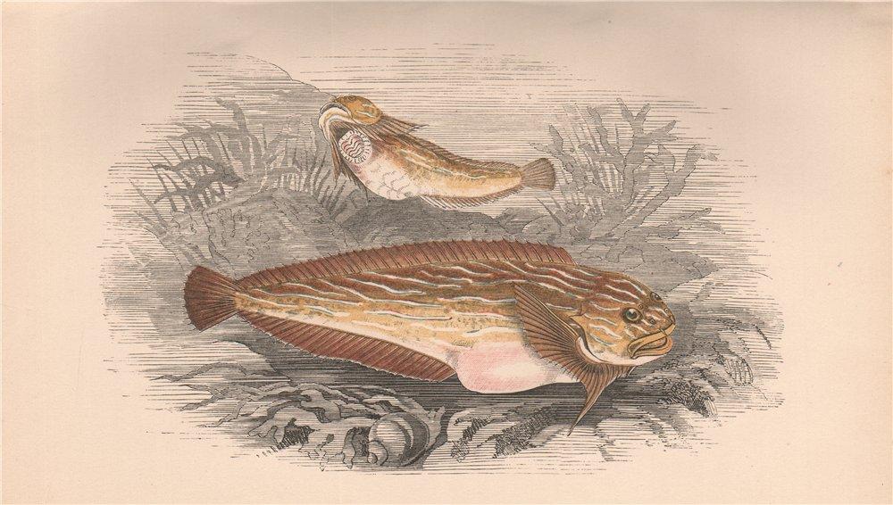 Associate Product SEA SNAIL. Liparis liparis liparis. COUCH. Fish 1862 old antique print picture