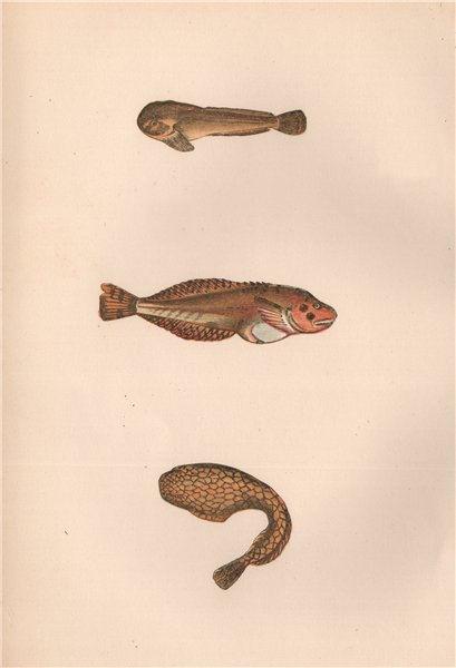 Associate Product MONTAGU'S SEA SNAIL NETWORK SUCKER Liparis Montagui male/female COUCH Fish 1862