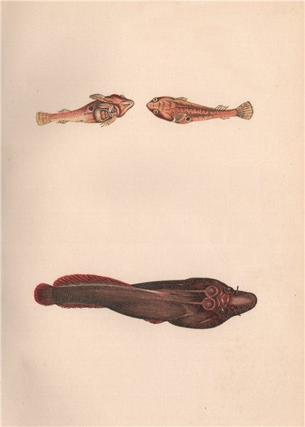 Associate Product TWO-SPOTTED & CORNISH CLINGFISH. Diplecogaster Lepadogaster purpurea. COUCH 1862