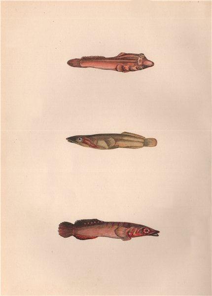 Associate Product CONNEMARA SUCKER. Gouan's sucker; Lepadogaster cephalus. COUCH. Fish 1862