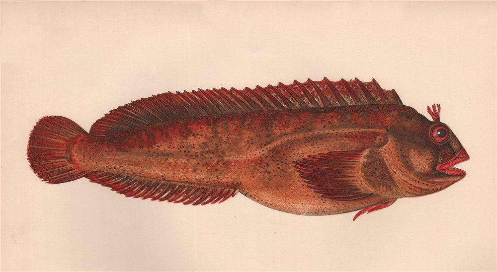 Associate Product GATTORUGINE. Blennius Gattorugine, Blennie, Blennius fasciatus. COUCH. Fish 1862