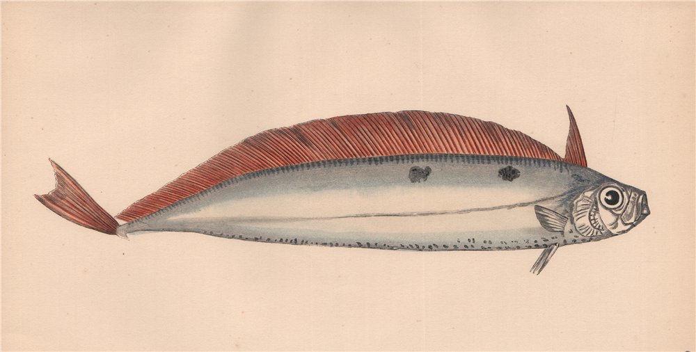 DEALFISH. Trachypterus arcticus, Vagmär, Solvkveite, Deal-fish. COUCH 1862