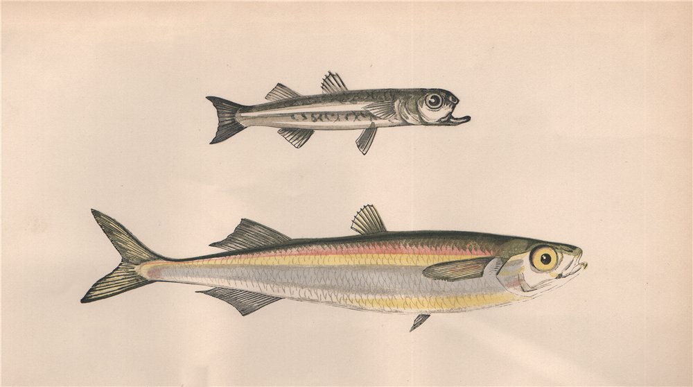 Associate Product MEDITERRANEAN SAND SMELT. Atherina Hepsetus, Siouclet, Guid. COUCH. Fish 1862