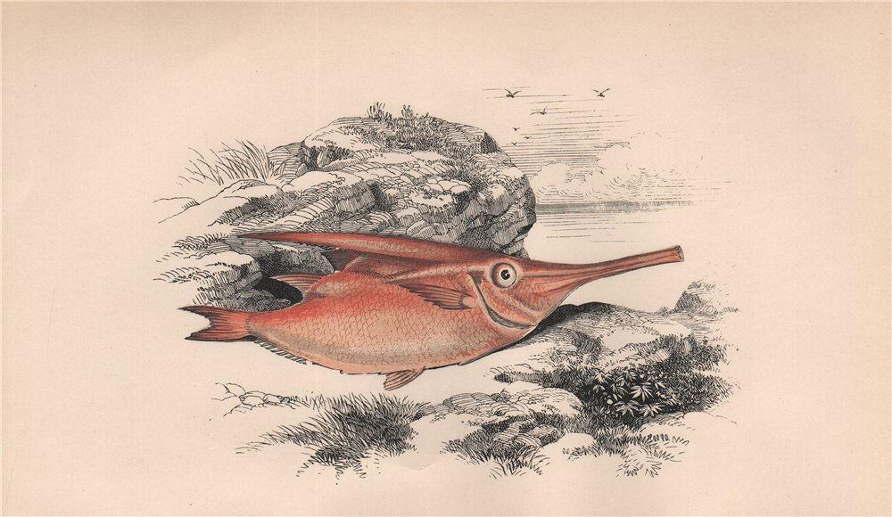 Associate Product LONGSPINE SNIPEFISH. Macroramphosus scolopax, bellowfish/trumpetfish. COUCH 1862