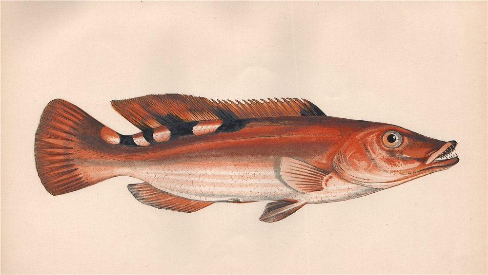 Associate Product THREE-SPOTTED WRASSE Labrus mixtus Cuckoo Wrasse Labrus carneus COUCH Fish 1862