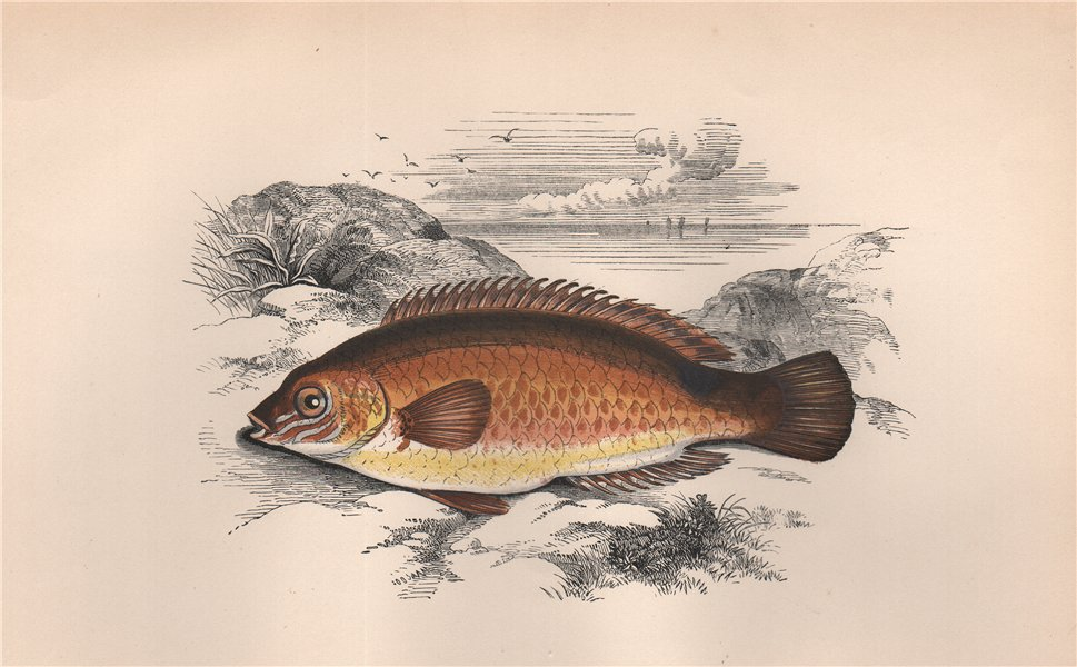 Associate Product ROCK COOK. Small-mouthed Wrasse, Centrolabrus exoletus. COUCH. Fish 1862 print