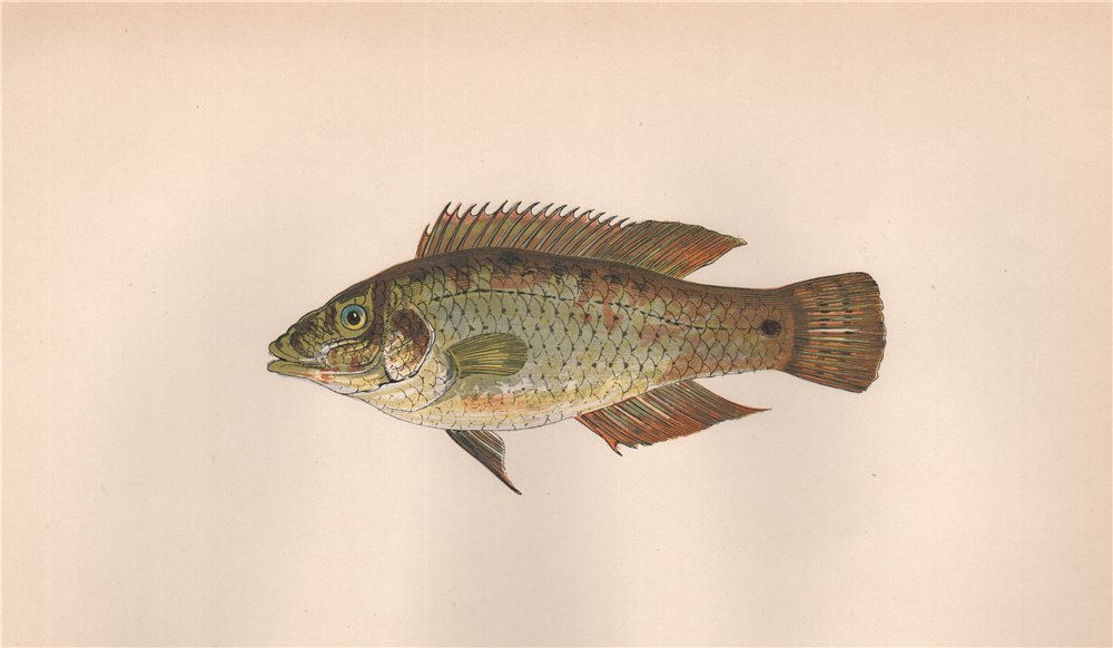 Associate Product CORKWING. Goldfinny, Labrus cornubiensis, Crenilabrus melops. COUCH. Fish 1862