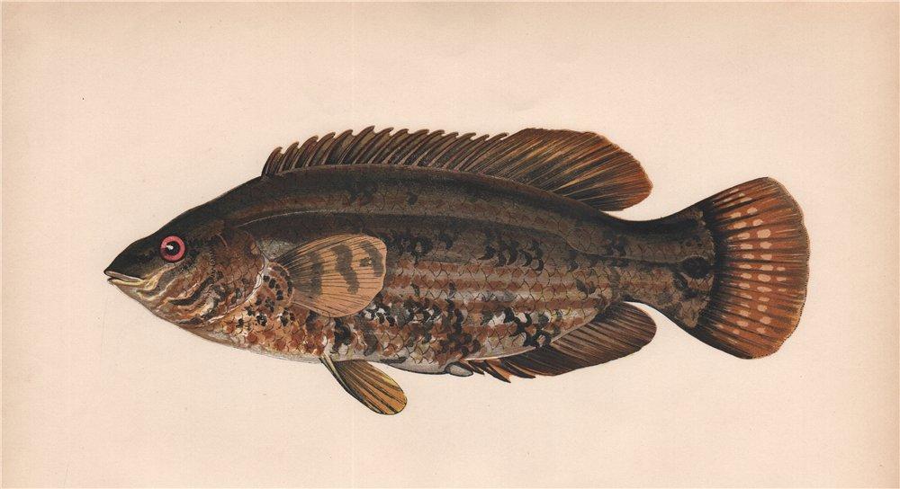 Associate Product BAILLON'S WRASS. Symphodus bailloni. COUCH. Fish 1862 old antique print