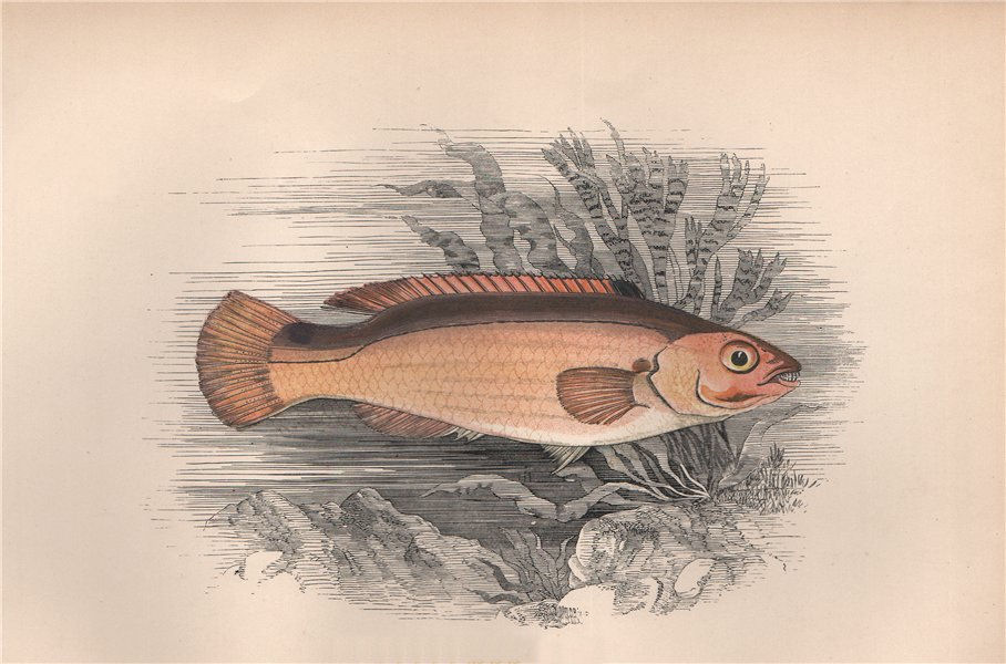 Associate Product JAGO'S GOLDSINNY. Ctenolabrus rupestris. COUCH. Fish 1862 antique print