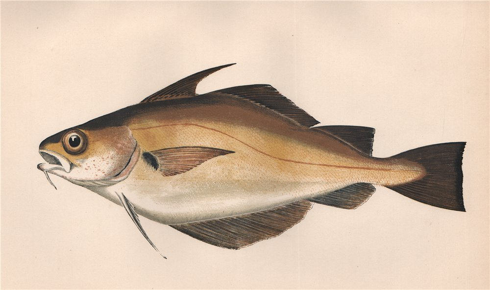 Associate Product BIB. Trisopterus luscus, Whiting Pout, pouting. COUCH. Fish 1862 old print