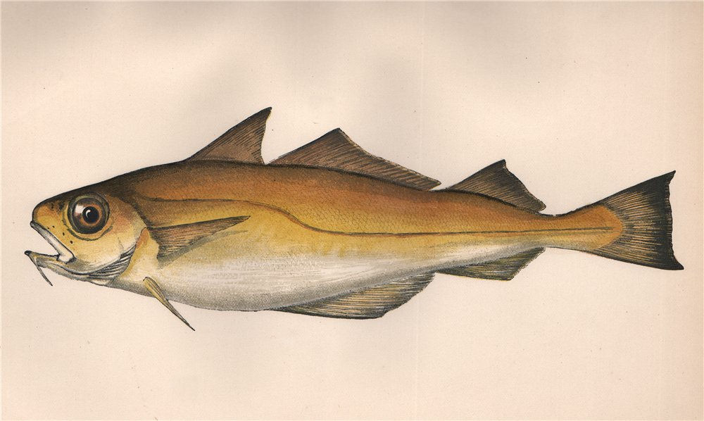Associate Product POOR COD. Trisopterus minutus, Cepelan, Capelan. COUCH. Fish 1862 old print