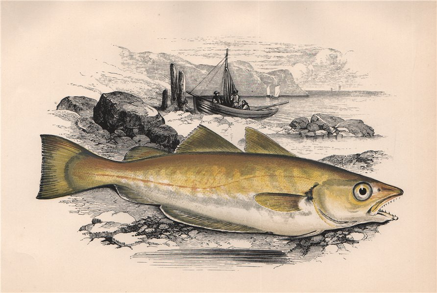 Associate Product WHITING. Merlangius merlangus, Merlan. COUCH. Fish 1862 old antique print