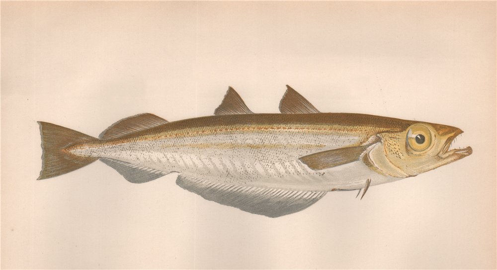 Associate Product POUTASSOU Micromesistius poutassou Couch's Whiting Blue Whiting COUCH Fish 1862