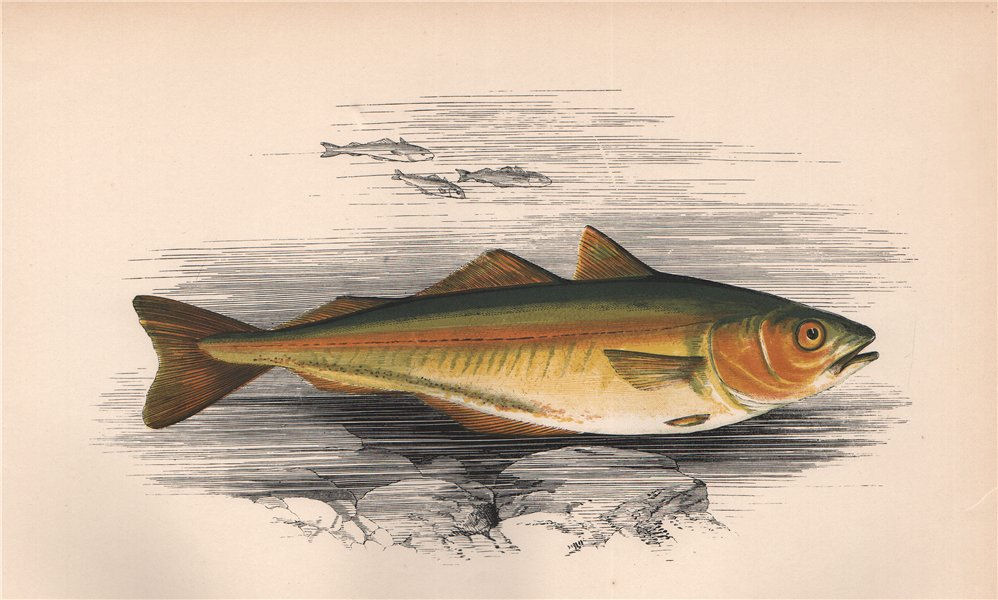 Associate Product SILLOCK. Merlangus virens, Green pollack, Saithe, Gloshan, Coalfish. COUCH 1862
