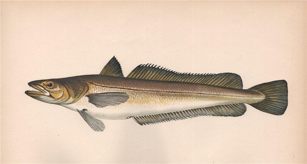 Associate Product HAKE. Merluccius merluccius, European Hake. COUCH. Fish 1862 old antique print