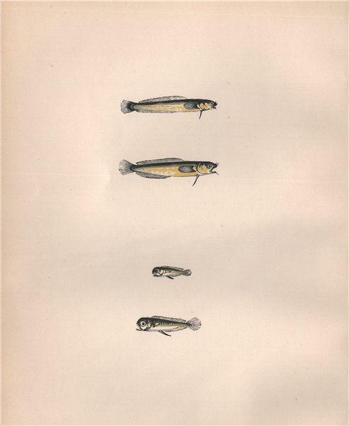 Associate Product MACKAREL & THOMPSON'S MIDGE Ciliata/Motella/Couchia glauca/minor COUCH Fish 1862