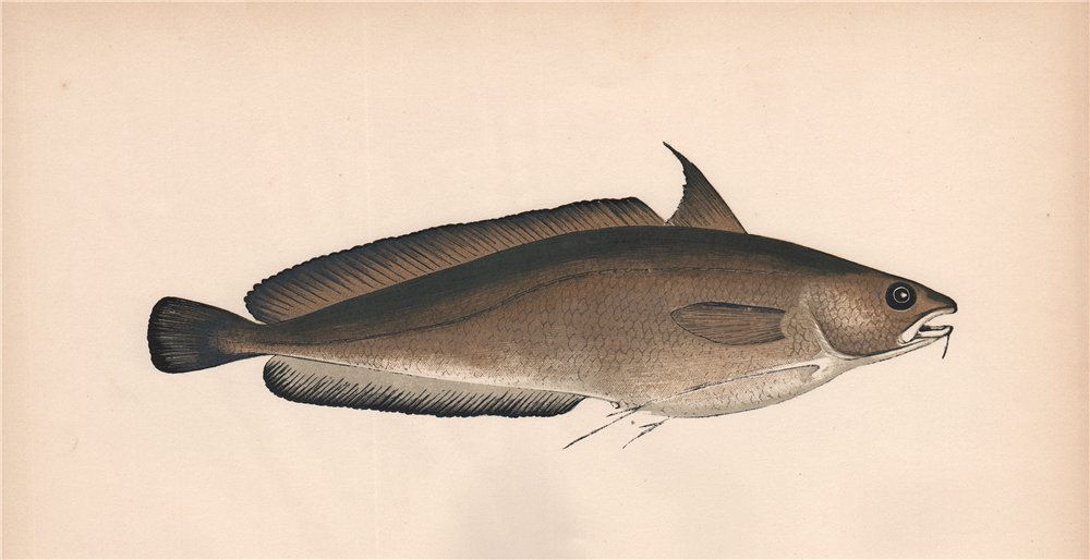 Associate Product GREATER FORKBEARD. Phycis blennoides, Hake's Dame, Forked Hake. COUCH. Fish 1862
