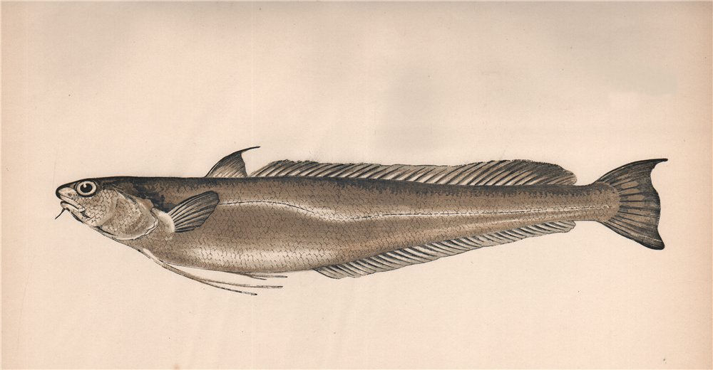 Associate Product GREATER FORKBEARD. Phycis blennoides, Lesser Hake. COUCH. Fish 1862 old print