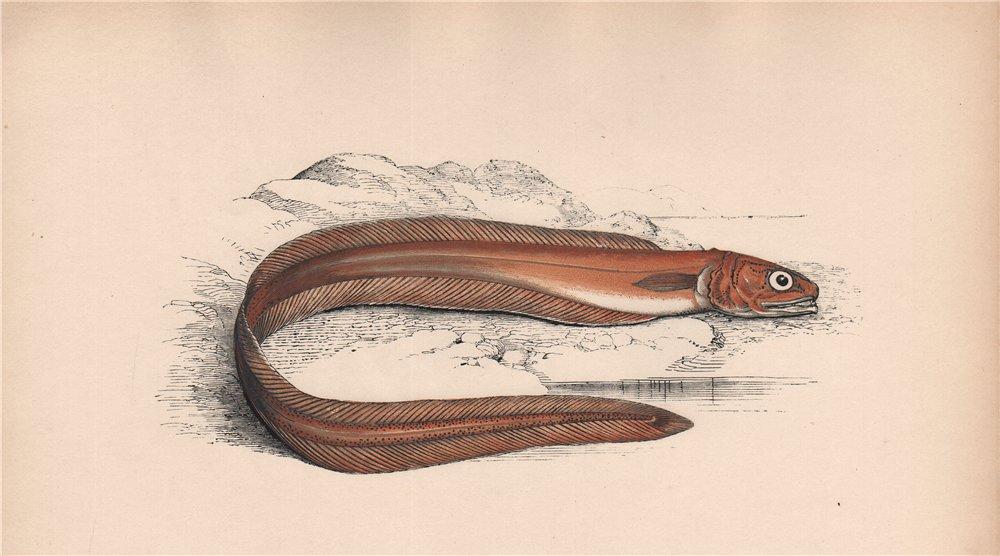 DRUMMOUD'S ECHIODON. Fierasfer dentatus, Echiodon drummondii. COUCH. Fish 1862