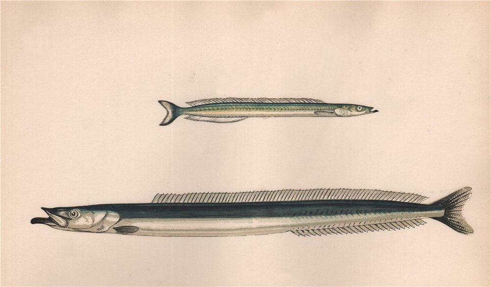Associate Product GREAT/LESSER SAND EEL Ammodytes tobianus Hyperoplus lanceolatus COUCH Fish 1862