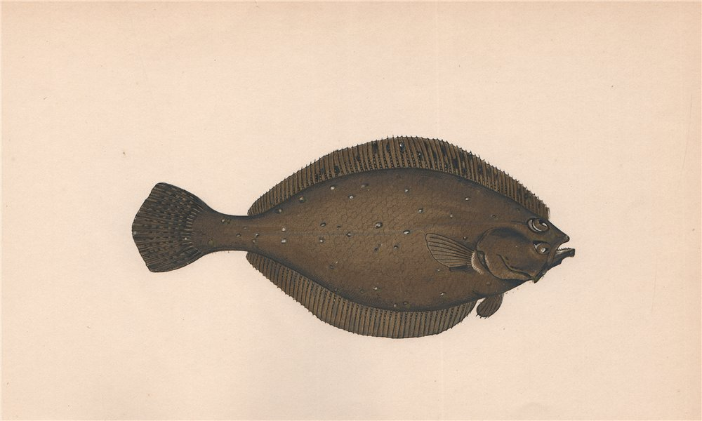 Associate Product AMERICAN PLAICE. Hippoglossoides platessoides, Long rough dab. COUCH. Fish 1862