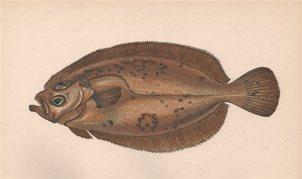 Associate Product CARTER Mary/Queen's Sole Whiff Pleuronectes/Rhombus megastoma COUCH Fish 1862