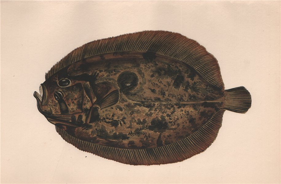 Associate Product MULLER'S TOPKNOT. Zeugopterus punctatus, Topknot. COUCH. Fish 1862 old print