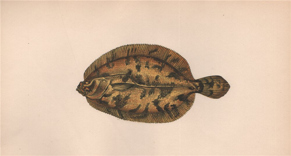 EKSTROM'S TOPKNOT. Zeugopterus regius. COUCH. Fish 1862 old antique print