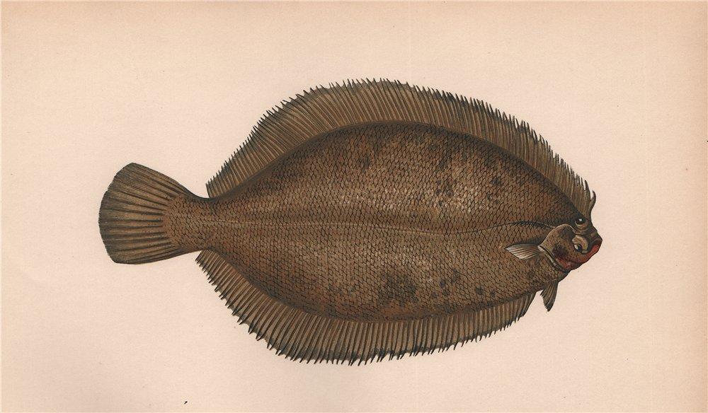 Associate Product LEMON SOLE Pleuronectes microcephalus Smear/Lemon Dab Smooth Dab COUCH Fish 1862