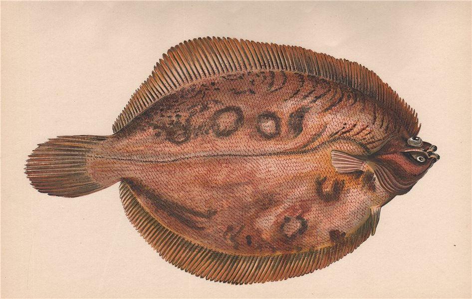 Associate Product LEMON SOLE (VARIETY) Pleuronectes microcephalus Smear/Lemon Dab COUCH Fish 1862