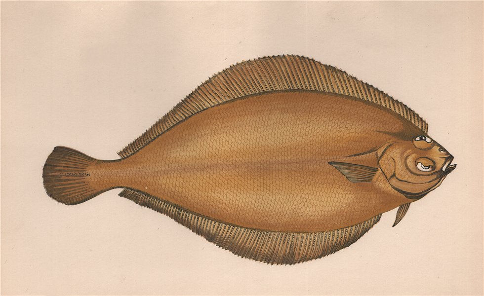 Associate Product WITCH FLOUNDER Glyptocephalus cynoglossus Pole dab Torbay sole COUCH Fish 1862