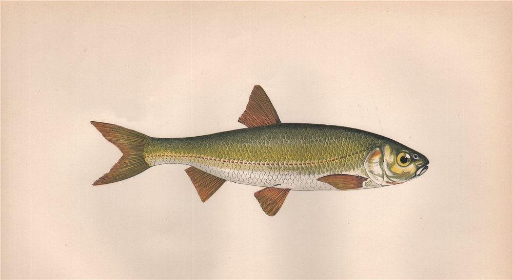Associate Product DOBULE. Leuciscus leuciscus, Dace. COUCH. Fish 1862 old antique print picture