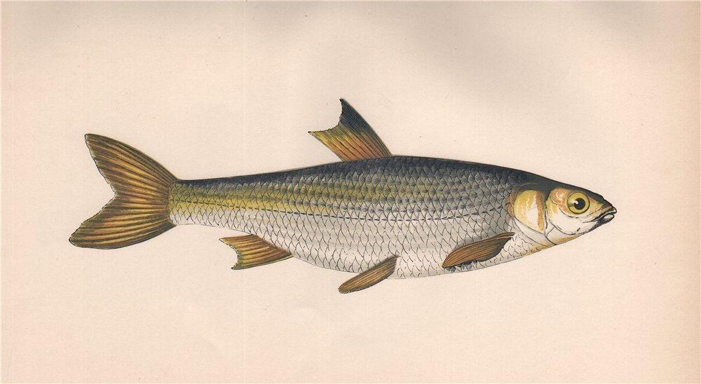 Associate Product DACE. Leuciscus leuciscus. COUCH. Fish 1862 old antique vintage print picture