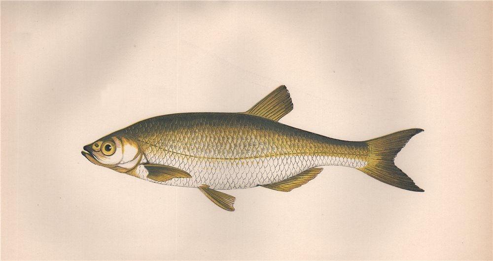 Associate Product BLEAK. Alburnus alburnus, Alver. COUCH. Fish 1862 old antique print picture