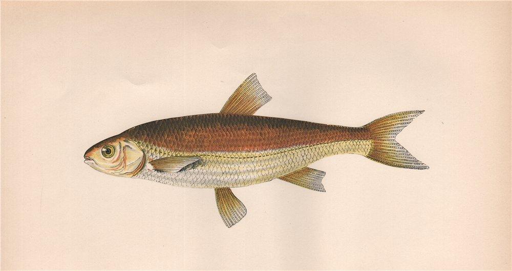 Associate Product GRAINING. Leuciscus Lancastriensis, Leuciscus leuciscus. COUCH. Fish 1862