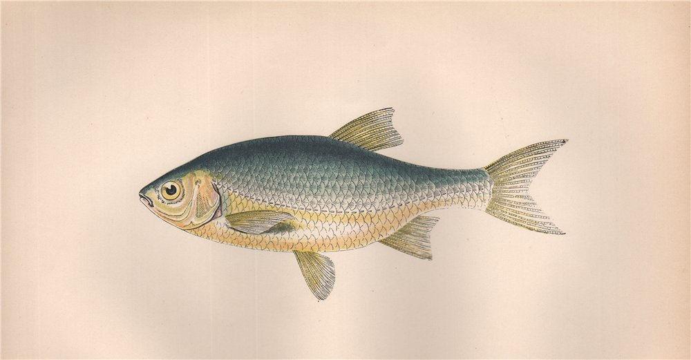 Associate Product RUDD Scardinius erythrophthalmus Azurine Bulldog/Italian Rudd COUCH Fish 1862