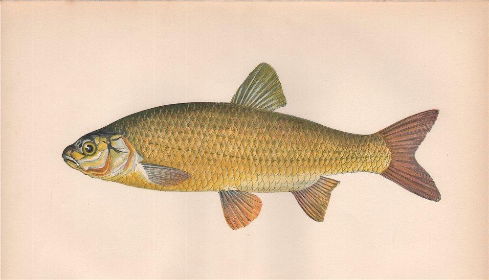 Associate Product IDE. Leuciscus idus, Orfe. COUCH. Fish 1862 old antique vintage print picture