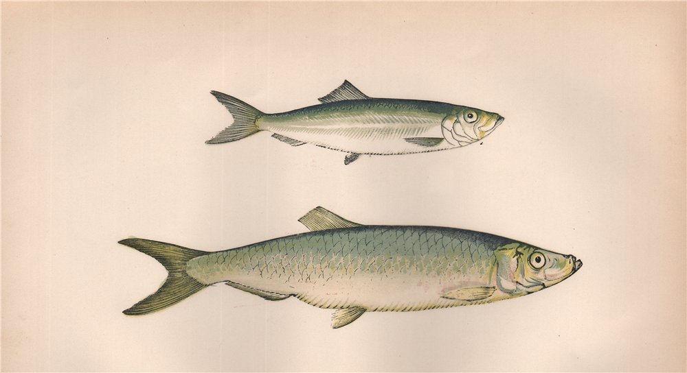 Associate Product SPRAT WHITEBAIT Aphya phalerica Clupea sprattus/alba/latulus COUCH Fish 1862