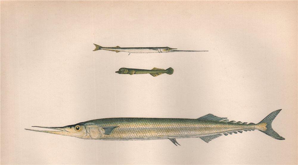 Associate Product GARFISH HALFBEAK SKIPPER. B. belone, Scomberesox saurus saurus,Saury. COUCH 1862