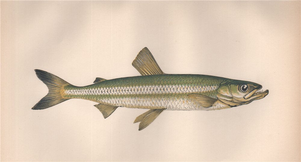 Associate Product EUROPEAN SMELT Osmerus eperlanus Sparling Spirling Rainbow Smelt COUCH Fish 1862