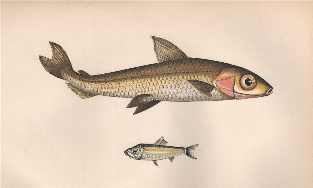 Associate Product ARGENTINE PEARLSIDES Argentina sphyraena Maurolicus muelleri COUCH Fish 1862