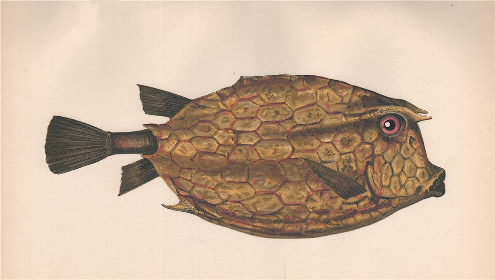 Associate Product SCRAWLED COWFISH Acanthostracion quadricornis, four-horned trunkfish. COUCH 1862