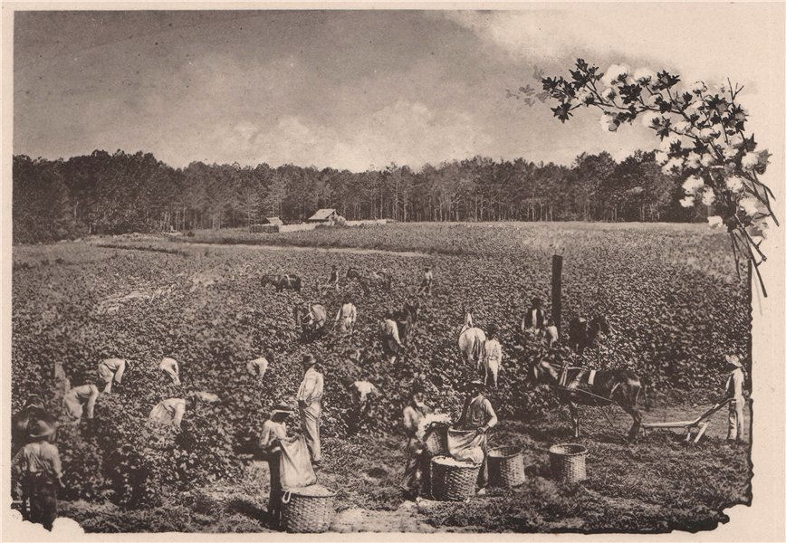 Associate Product Cotton Crop in the South, USA. Albertype print 1893 old antique picture
