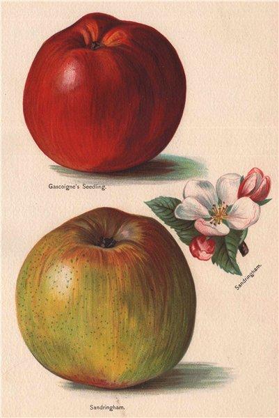Associate Product APPLES. Gascoigne's Seedling; Sandringham. WRIGHT Chromolithograph 1892 print