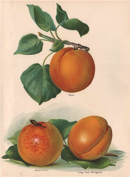 PEACHES. Royal; Grosse Pêche; Large Early Montgamet. WRIGHT Chromolitho 1892