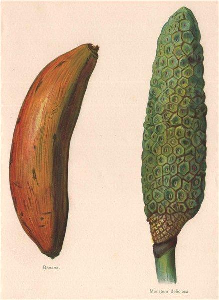 Associate Product BANANA; Monstera Deliciosa (FRUIT SALAD PLANT). WRIGHT Chromolithograph 1892